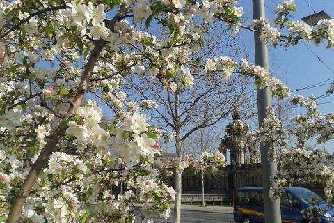Blütenzauber am Dresdner Zwinger